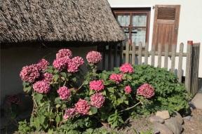 Gardenia in Vitt - Gardenien - Rügen