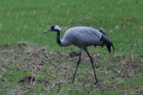 The common crane (Grus grus), also known as the Eurasian crane