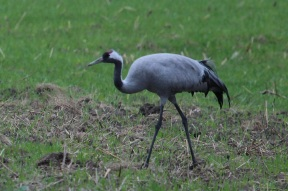 The common crane (Grus grus), also known as the Eurasian crane