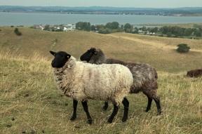 Schafe; Blick vom Bakenberg in den Zickerschen Bergen - Rügen