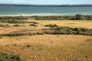Sheep on the island of Hiddensee