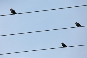 Like a bird on a wire - starlings, island of Rügen