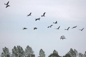 Kraniche bei unserem Ferienhaus - Flying cranes - Island of Rügen