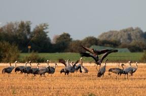 Common cranes (Grus grus) on the island of Rügen close to Rambin