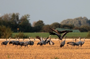 Common cranes (Grus grus) on the island of Rügen close to Rambin