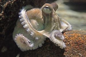Octopus in the Ozeaneum Stralsund