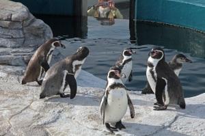 Humboldt-Pinguine im Ozeaneum Stralsund als Fotomodelle