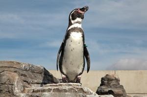 Humboldt-Pinguin im Ozeaneum Stralsund