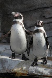 Humboldt-Pinguine im Ozeaneum Stralsund