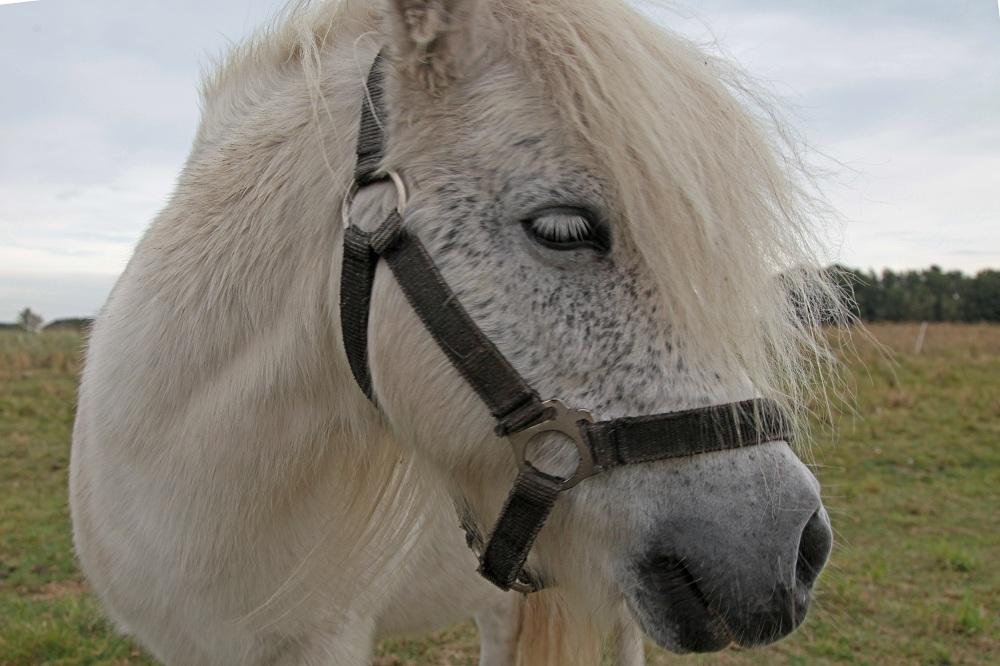 Pony bei Neureddevitz - Insel Rügen