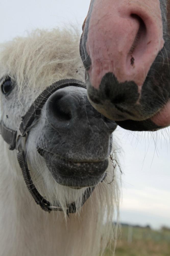 Pony und Pferd bei Neureddevitz - Insel Rügen
