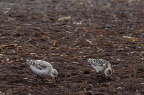 Zwergstrandläufer (Calidris minuta) - Ostseehalbinsel Darß