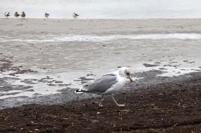 Silbermöwe (Larus argentatus) am Strand von Prerow, Ostseehalbinsel Darß