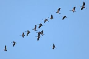 Fliegende Kraniche bei Prerow - Ostseehalbinsel Darß