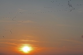 Kranichflug bei Prerow - Ostseehalbinsel Darß