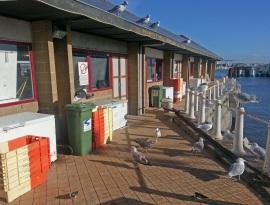 Möwen am Fischmarkt /Hafen in Oostende