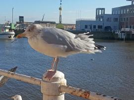 Silbermöwe am Hafen von Oostende