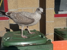 Möwe (Jungvogel) plündert Abfalleimer am Fischmarkt