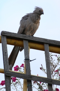 Grey go-away-bird (Corythaixoides concolor), also known as grey lourie - Grauer Lärmvogel - Johannesburg, South Africa