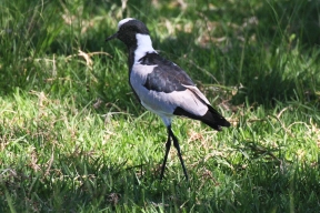 Blacksmith lapwing or blacksmith plover (Vanellus armatus) - Waffenkibitz - Lion Park, Johannesburg, South Africa