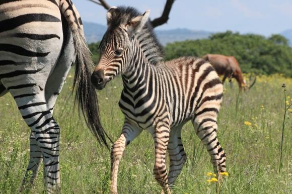 Plains zebra (Equus quagga, formerly Equus burchellii), also known as the common zebra or Burchell's zebra - Steppenzebra - Lion Park, Johannesburg, South Africa