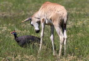 Curious Young Black Wildebeest
