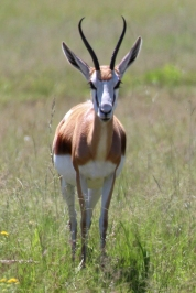 Springbok - National Animal