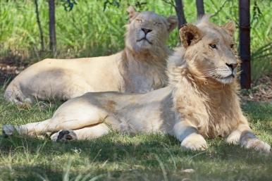 Lion (Panthera leo) - Löwe - Lion Park, Johannesburg, South Africa