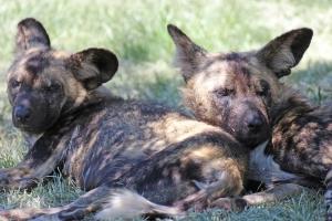 African wild dog (Lycaon pictus) - Afrikanischer Wildhund - Lion Park, Johannesburg, South Africa