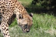 Cheetah (Acinonyx jubatus) - Gepard - Lion Park, Johannesburg, South Africa