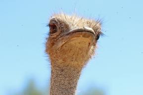 Ostrich (Struthio camelus) - Strauss - Lion Park, Johannesburg, South Africa