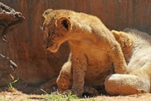 Young lion (Panthera leo) - Löwe - Lion Park, Johannesburg, South Africa