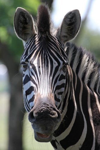 Plains zebra (Equus quagga, formerly Equus burchellii), also known as the common zebra or Burchell's zebra - Steppenzebra - Lion Park, Johannesburg, South Africa