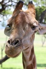 South African giraffe or Cape giraffe (Giraffa camelopardalis giraffa) - Giraffe - Lion Park, Johannesburg, South Africa