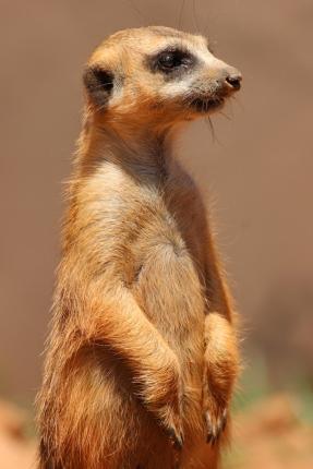 Meerkat or suricate (Suricata suricatta) - Erdmännchen - Lion Park, Johannesburg, South Africa