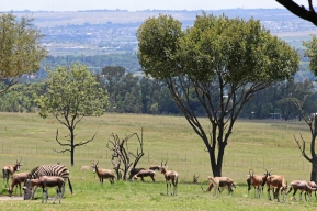 Blesboks and Zebras