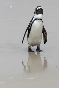 Brillenpinguin - African penguin (Spheniscus demersus), also known as the jackass penguin and black-footed penguin - Boulders, Table Mountain National Park, South Africa