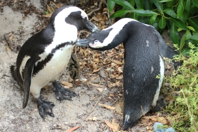 Brillenpinguine - African penguin (Spheniscus demersus), also known as the jackass penguin and black-footed penguin - Boulders, Table Mountain National Park, South Africa