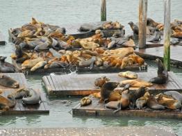 Kolonie Kalifornischer Seelöwen am Pier 39, San Francisco