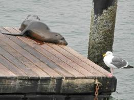 Kalifornischer Seelöwe (Zalophus californianus) am Pier 39, San Francisco