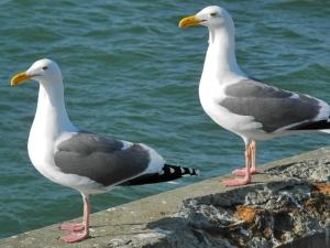 Westmöwen / Western Gulls (Larus occidentalis)