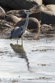 Grey Heron - Graureiher - Ardea cinerea