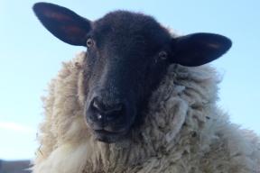 Black-Headed Sheep at Loop Head