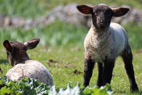 Lambs of Black-Headed Sheep at Loop Head