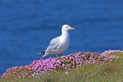 Herring Gull - Silbermöwe - Larus argentatus - standing in Armeria maritima, commonly known as thrift, sea thrift or sea pink