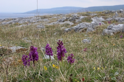 Orchis mascula, the early-purple orchid - The Burren, Ireland