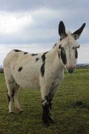 Donkey in The Burren, Ireland
