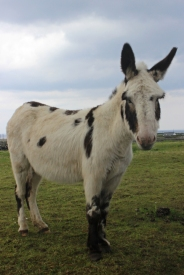 Donkey in The Burren, Ireland