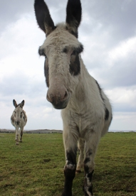 Donkeys in The Burren, Ireland