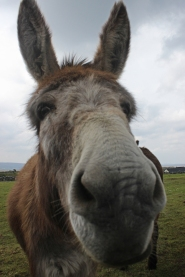 Camera Kissing Donkey in The Burren, Ireland